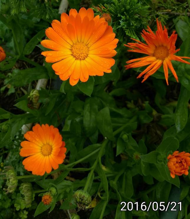 金盞花、金盞菊, Calendula officinalis, pot marigold, ruddles, common marigold, garden marigold